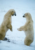 polar-bears-face-to-face