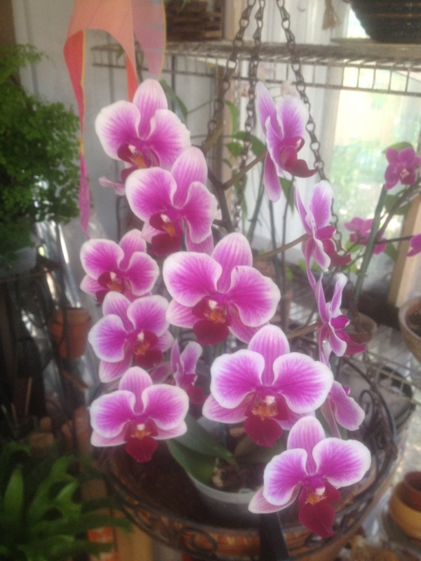 Phalaenopsis 'peppermint candy'